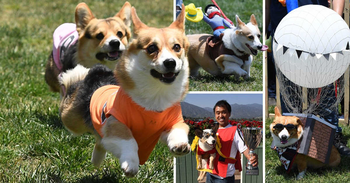 Loads of dogs raced at the first ever Corgi Nationals in California and it was beautiful