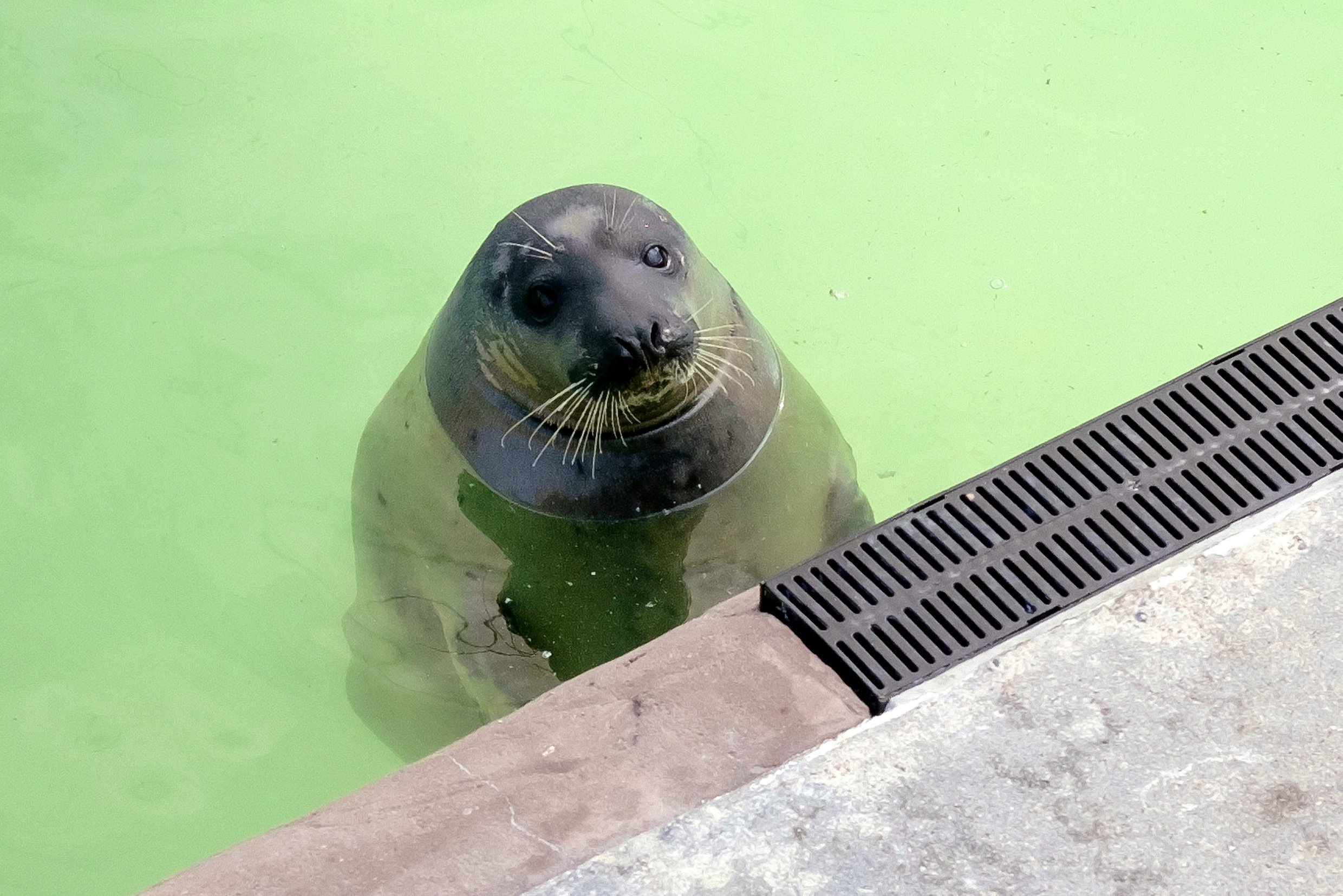 Jinx the obese seal has been put on a strict diet after gaining three stone