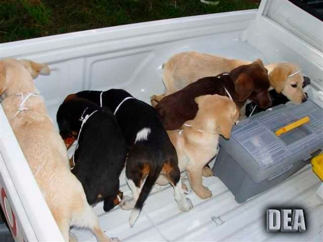 This 2005 photo provided by U.S. Drug Enforcement Administration officials shows puppies rescued from a farm in Colombia destined for use by a U.S. veterinarian working for a Colombian drug trafficking ring. Veterinarian Andres Lopez Elorza used the puppies to smuggle packets of liquid heroin on commercial flights to New York City, where the heroin packets were eventually cut out of the puppies, who died in the process, officials said. Lopez, who is Venezuelan, was arrested in 2015 in Spain in connection with the case and was extradited to the U.S. on Monday, April 30, 2018. He is scheduled to be arraigned Tuesday, May 1 in New York. (U.S. Drug Enforcement Administration via AP)
