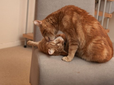 Meet Bruce and Clarence, two adorable blind cats who aren't able to go outside