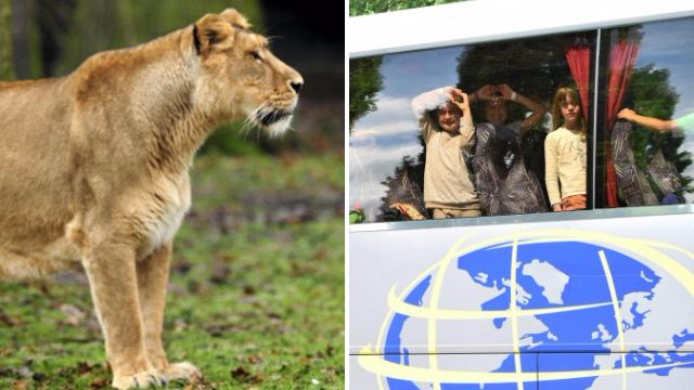 Lion shot dead after escaping from its enclosure at Belgian zoo