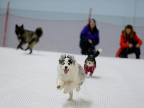 An indoor ski slope has opened its doors to dogs looking to cool down in the heatwave