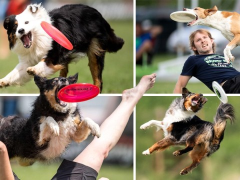 Look at these very good dogs catching frisbees at a competition