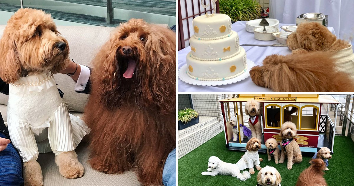 Watch the adorable moment two Labradoodles give their paws in marriage in idyllic rooftop dog wedding ceremony