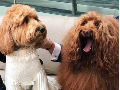Two Labradoodles got married and it's the cutest thing ever