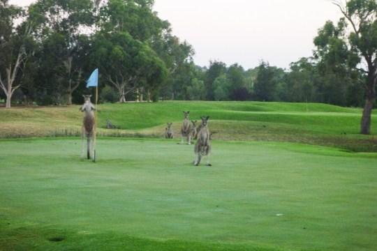 Mob of kangaroos go crazy on golf course | Metro News