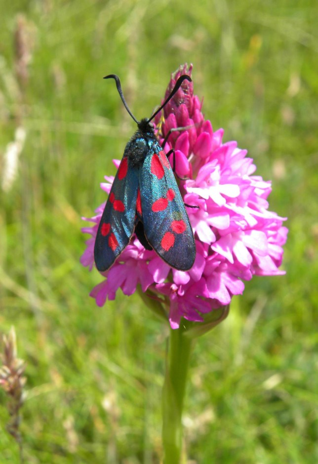 This is a six-spot burnet moth Credit: University of Exeter Terms of use - This image may only be used with reports of this research