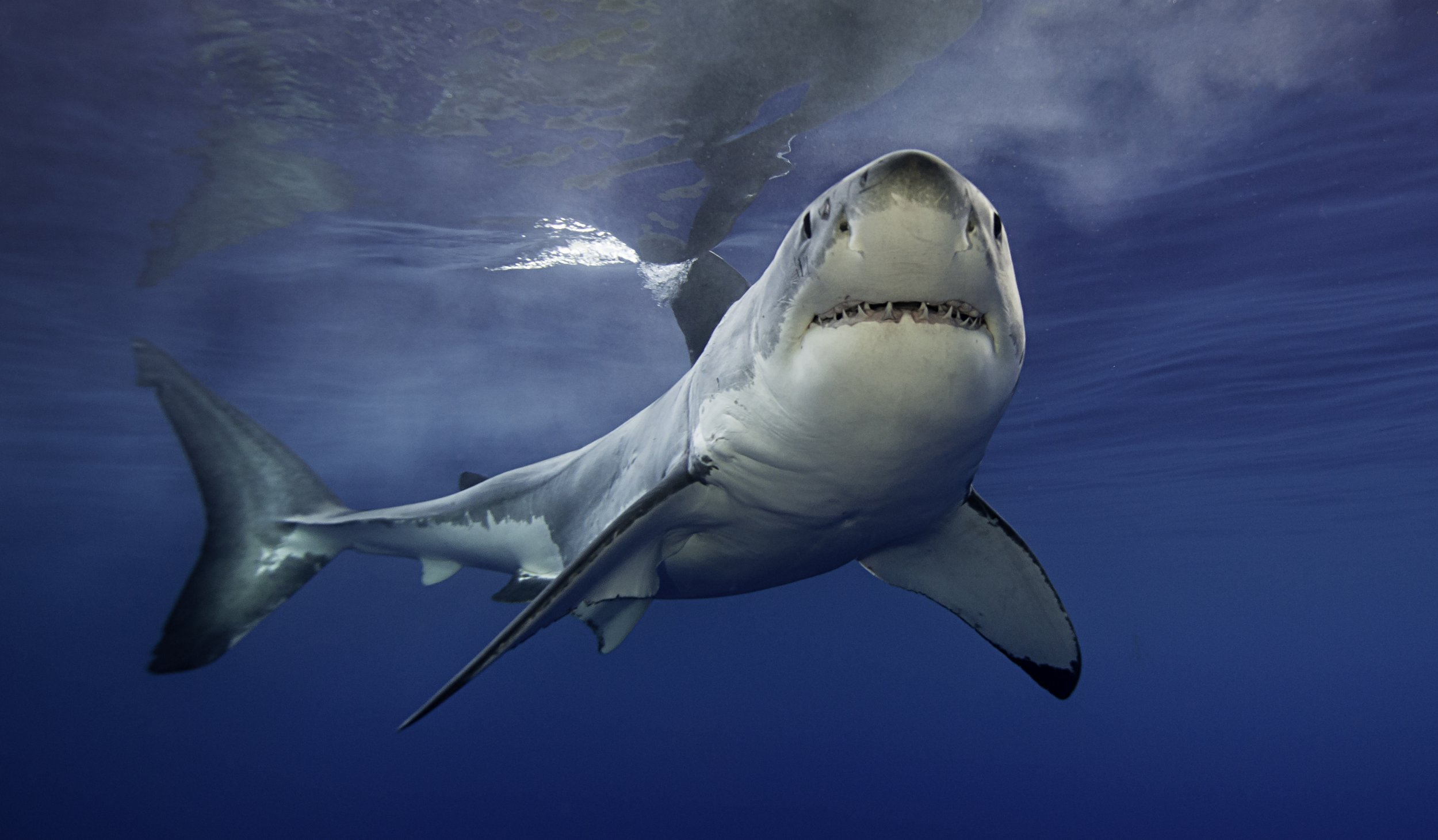 Smell of dead sharks to be used to protect surfers from attacks
