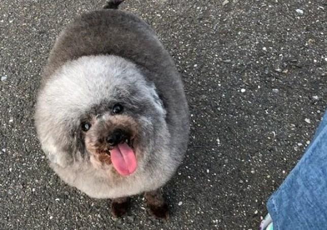 Dog looks like a fluffy cloud