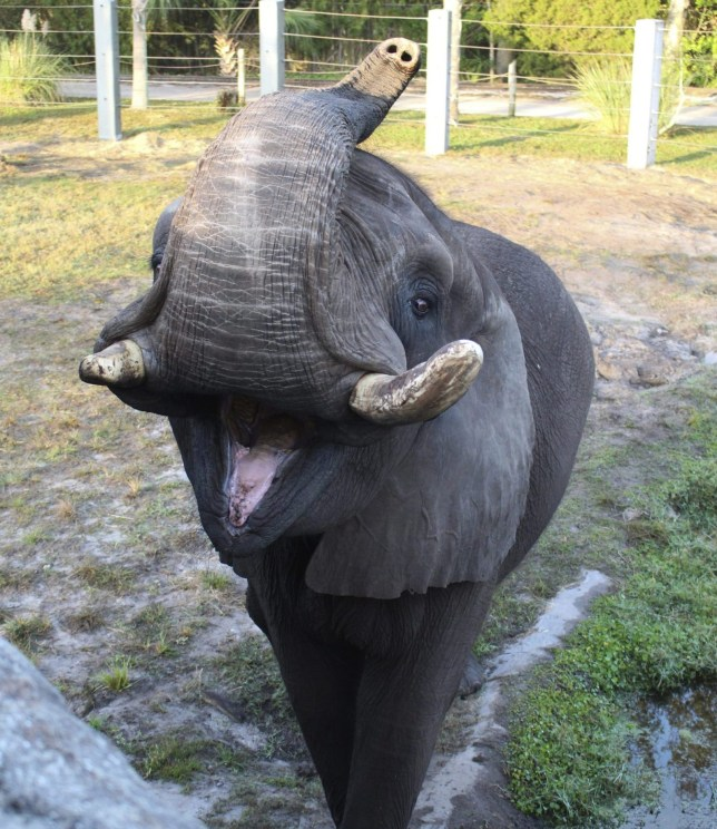 This 2017 photo provided by the Jacksonville Zoo and Garden shows Ali, a bull elephant that once lived at Michael Jackson???s Neverland Ranch briefly escaped its enclosure on Sunday, June 17, 2018, at the Jacksonville Zoo and Gardens in Jacksonville, Fla. The zoo said the elephant wandered through a gate that was accidentally left open and wound up in a courtyard. (Jacksonville Zoo and Garden via AP)