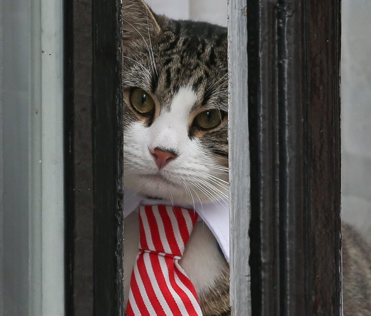 A cat named 'James' wearing a collar and tie looks out of the window of the Ecuadorian Embassy in London on November 14, 2016 where WikiLeaks founder Julian Assange was being questioned over a rape allegation against him. WikiLeaks founder Julian Assange faces questioning by prosecutors on November 14 at the Ecuadoran embassy in London in a twist in the long-running legal battle over a rape allegation against him. An Ecuadoran prosecutor will quiz the founder of the secret-spilling website at the red-brick building where he has been holed up for more than four years, with Swedish prosecutor Ingrid Isgren and a Swedish police inspector also attending, officials said. / AFP / DANIEL LEAL-OLIVAS (Photo credit should read DANIEL LEAL-OLIVAS/AFP/Getty Images)