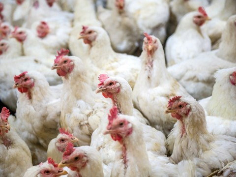 We kill 60 billion chickens a year for food and it'll influence our legacy, expert says