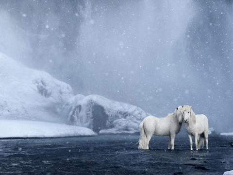 Now that winter is back, enjoy these Icelandic ponies playing in the snow