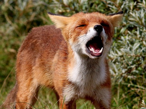 Why do foxes scream at night?