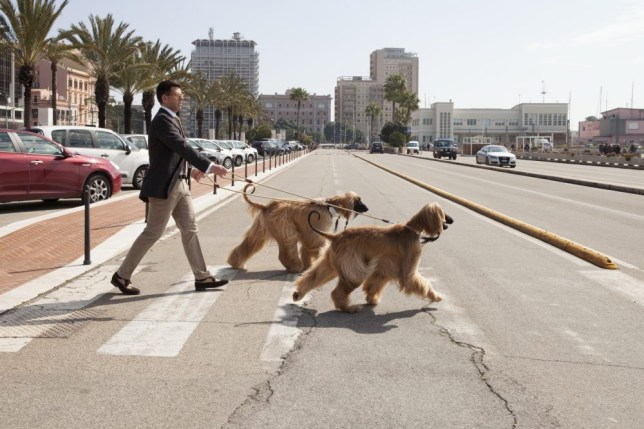 Mid age man walking the dogs in a city.