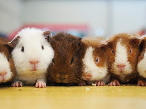 Guinea pig appreciation day: Things you need to know before buying a pet guinea pig