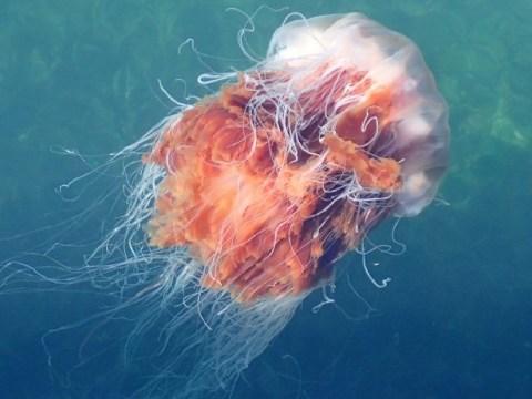 Jellyfish warning as Britain's seas warm up in the heatwave