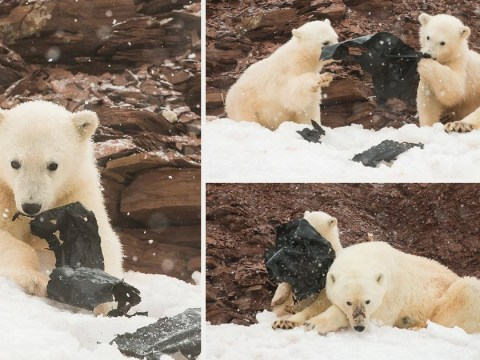 Polar bear cubs chewing plastic on remote island shows huge scale of pollution