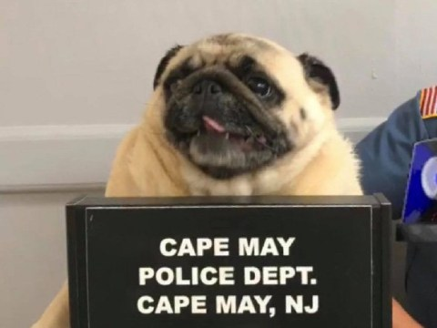 This pug got arrested and please just look at his mug shot