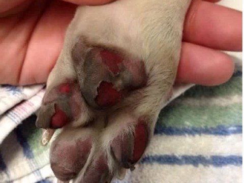 Dog's blistered paw shows shocking impact of hottest day of the year