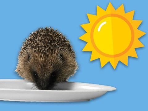 Thirsty hedgehogs at risk of dying of dehydration in the UK heatwave