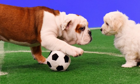 English Bulldog and Maltese Bichon puppies go head-to-head in a fluffy, but intense game of football as part of Freshpet's bid to keep England football fans calm during the football season, streamed live via Freshpet???s Facebook page and website during the England V Colombia game, airing 7pm on Tuesday.