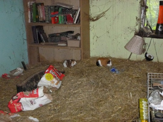 The scene in a house in Cardiff where a woman had been keeping 29 guinea pigs. See SWNS story SWPIGS; A Cardiff woman has admitted causing 29 guinea pigs to unnecessarily suffer, with the animals living amid piled-up filth in a ?squalid? bedroom. Barbara Herbert, of Beverley Close in the Llanishen/Lisvane area of the city, admitted an Animal Welfare Act offence at Cardiff Magistrates? Court on Monday (2 July). A warrant had been out for the woman?s arrest since February in relation to this case. Herbert was handed a two-year conditional discharge, deprived of the 29 animals and banned from keeping all animals for a decade. She was also fined ?300 in costs, and told to pay a ?20 victim surcharge.