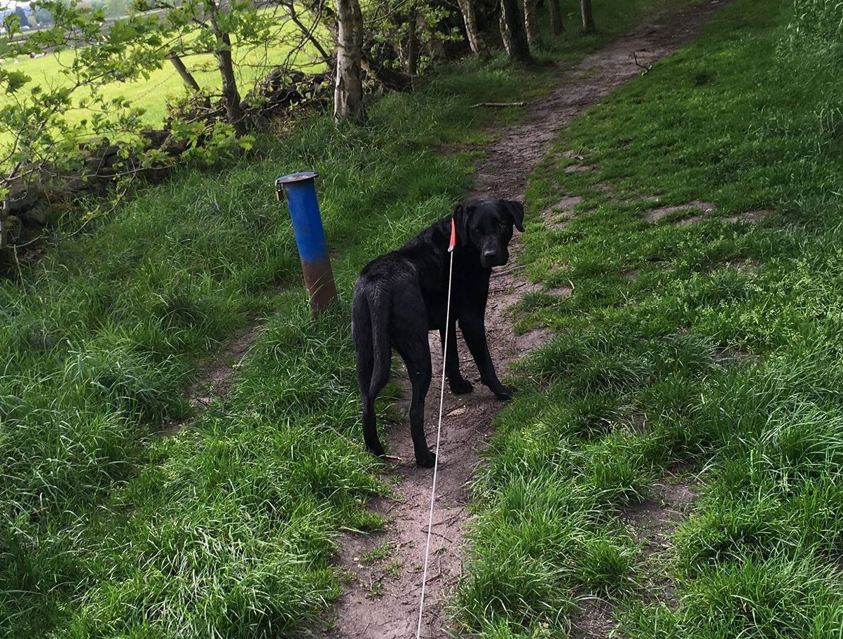 Black Labrador Oscar who has been placed on a drip by a vet after ingesting cannabis on a walk in Honley