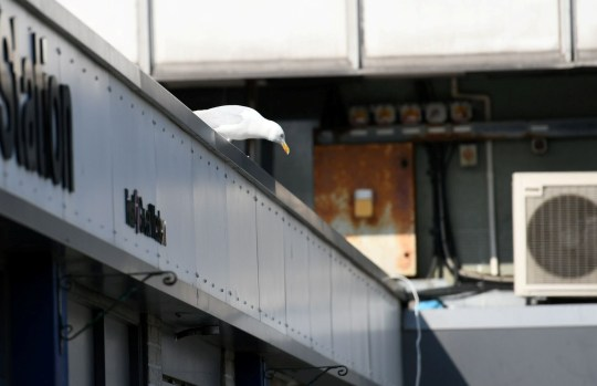 A postman in Devon is being victimised by a seagull