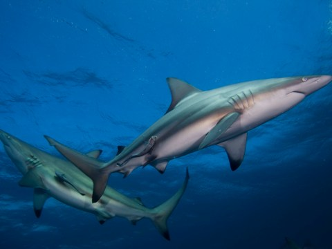 How many sharks are killed each year and how many humans are killed by sharks?