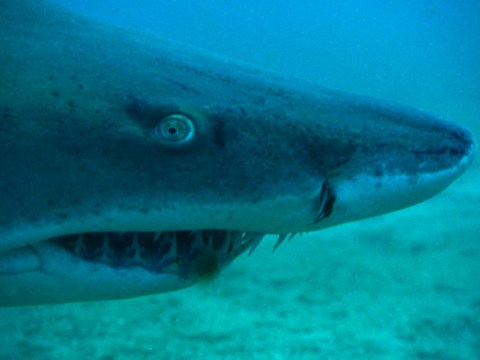 These deadly sharks could be heading to the UK as seas warm up