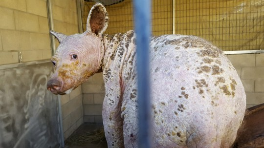 Eve had a severe case of mange. SHOCKING images and video footage have revealed the remarkable survival story of black bear after it suffered from such a severe case of mange it was left BALD and looking like an overgrown rat. The striking shots show the black bear completely hairless with cracked, dry, dead skin leaving visible black marks all over her body. Video footage shows staff at a wildlife centre working hard to treat the poor animal. Other heart-warming shots show the progress the bear has made in six-months since being found on Christmas Eve, with footage showing her playing in her enclosure as she continues her recovery. Eve, as she was nicknamed by staff at the Fund for Animals Wildlife Center in San Diego County, California, appeared to be suffering from mange so serious, she was completely bald and had small scabs all over her body. She was found foraging for food in northern California by good Samaritans who called the California Department of Fish & Wildlife. But for that intervention, she would have almost certainly died from the cold. They brought Eve to the wildlife centre even as staff quickly prepared a recovery room and made sure we had all of the supplies ready to care for a young bear. Humane Society of the United States / mediadrumworld.com