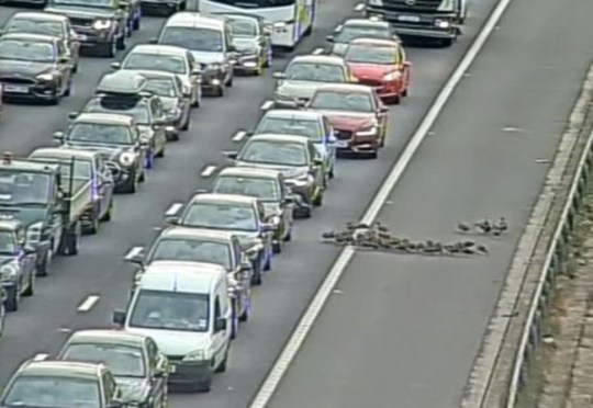 The #M25 is BLOCKED clockwise between J18 and J19 due a flock of around 30 ducks waddling down the hard shoulder and onto the carriageway! We're trying to get them safely of the network as quickly as we can. Delays of an hour on approach.