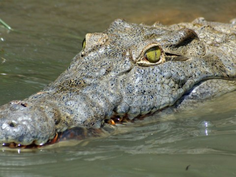 Crocodiles, lions and tigers are among 5,000 wild animals kept in UK homes as pets