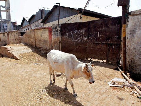 Man beaten to death by mob for smuggling cows in India