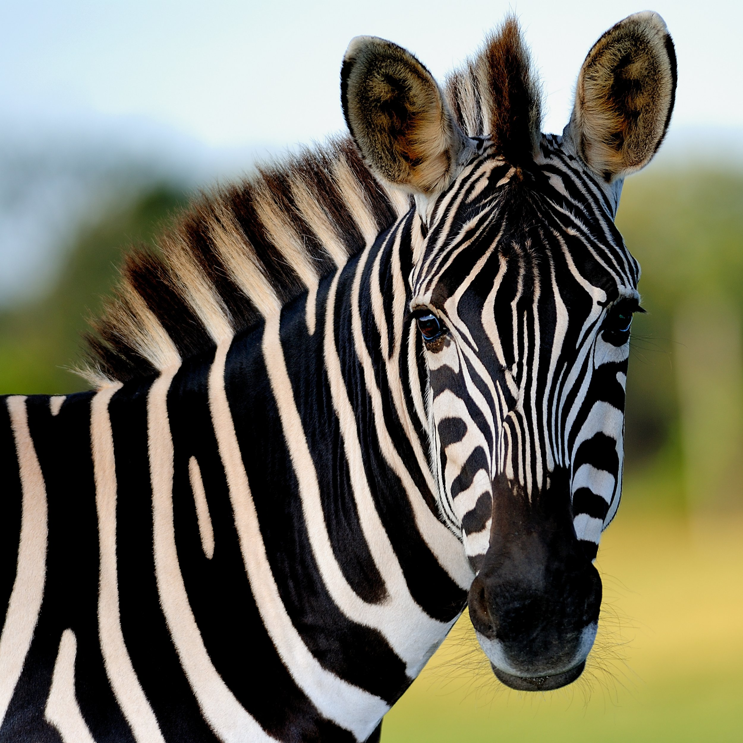 Mystery of zebra stripes solved after bizarre horse costume experiment