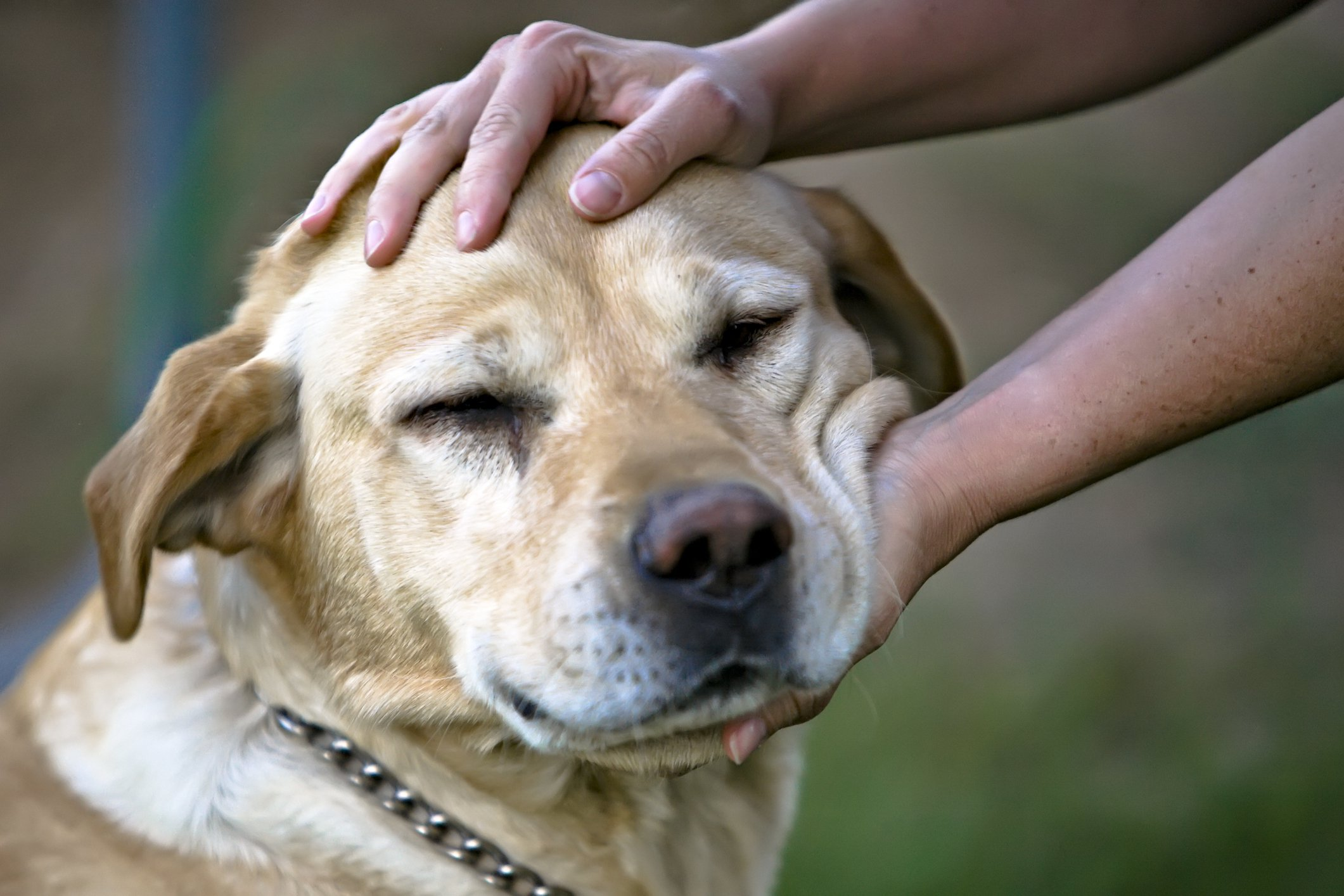 Person petting a yellow Labrador Retriever