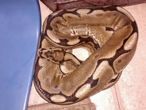 Woman wakes up with 3ft python in her bed