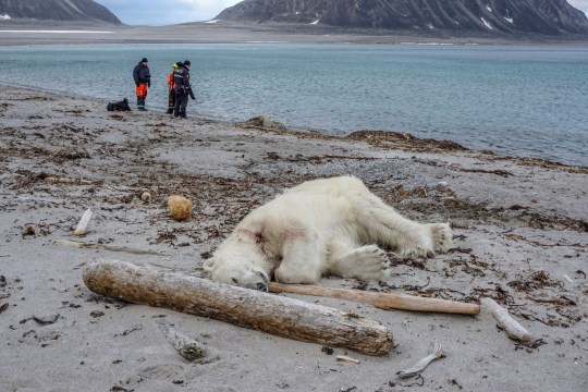 A polar bear, which Norwegian authorities said attacked and injured a cruise ship employee who was leading tourists off a cruise ship on an Arctic archipelago between mainland Norway and the North Pole, is seen after being shot dead by another employee according to the cruise company, in Svalbard, July 28, 2018. Gustav Busch Arntsen/Governor of Svalbard/NTB Scanpix/via REUTERS ATTENTION EDITORS - THIS IMAGE WAS PROVIDED BY A THIRD PARTY. NORWAY OUT. NO COMMERCIAL OR EDITORIAL SALES IN NORWAY. TPX IMAGES OF THE DAY