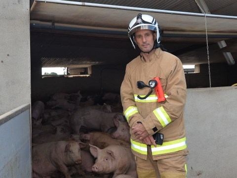 Over 70 pigs rescued after falling into slurry tank