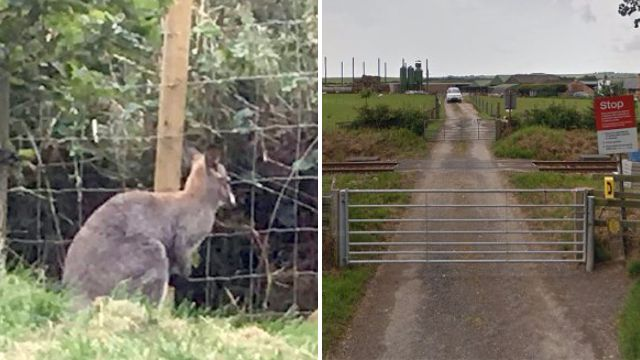 Wallaby escapes over wallaby-proof fence in animal park