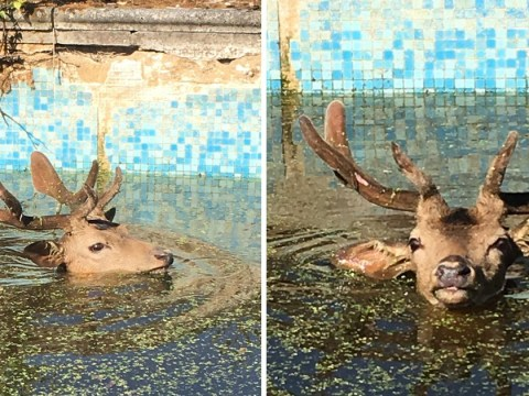 Huge 60kg stag falls into swimming pool and is dragged out by its antlers
