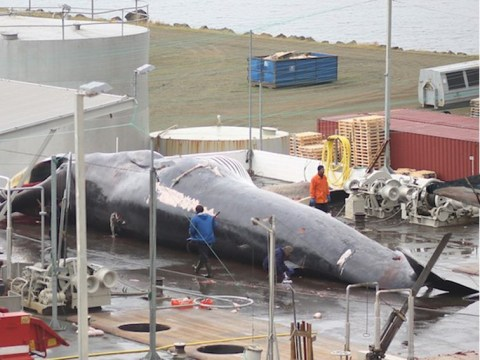 Whalers kill rare hybrid and then scurry off with a whale foetus