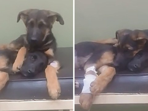 Puppy puts loving paw on sister's back as she's treated at the vets