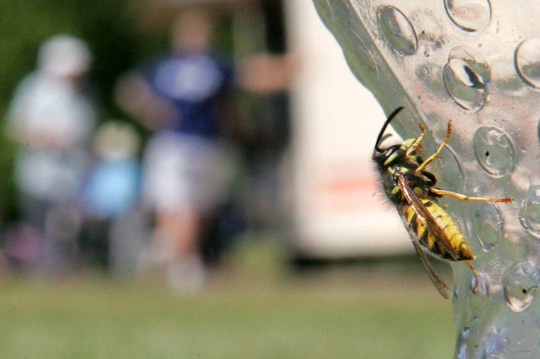 (file pic) A wasp. Britons are being stung in record numbers, wildlife experts have warned, because 'lager lout' wasps are getting drunk and going on the rampage. See SWNS story SWWASPS; Experts have given a warning about 'boozy wasps', who are getting drunk on fermented fruit because their normal food source has dried up - and are attacking everything they can. The Sussex Wildlife Trust has revealed that a genetic trait in wasps' short lives forces them to pursue booze and alcoholic decaying fruit at this time of year. A 'tight' band around their abdomen stops them from eating a conventional diet of flies in later life and they become hooked on sugar. Making things worse, hive queens eventually stop laying larvae - which produce a sugar-spit that adult wasps rely on. As a result, wasps are sent into a frenzy at the height of summer, leaving desperate swarms out for the sugars of human food.