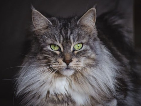 The largest domestic cats you can adopt – and things you should know before you do
