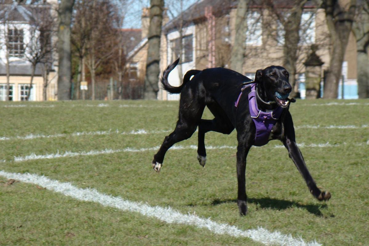 Flo - Saluki Cross - Scottish Greyhound Rescue (1).jpg