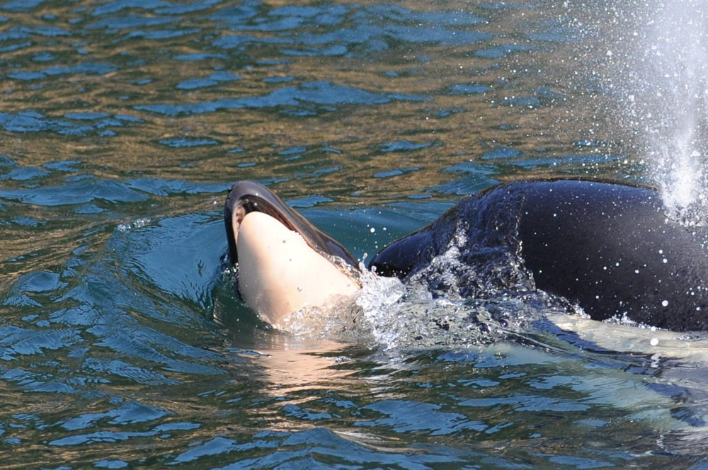 (Picture: Ken Balcomb/Center for Whale Research) We are saddened to report that a baby Southern Resident killer whale (SRKW) died a short time after it was born near Victoria, British Columbia on July 24, 2018. The newborn whale was reported alive and swimming with its mother, J35, and other members of J pod near Clover Point on the Victoria shoreline in mid-morning. A Center for Whale Research team was on the water in Haro Strait at the time and immediately responded to photo-document the newborn calf for the long-term census study we maintain for the US and Canadian governments. Unfortunately, by the time the CWR crew arrived on scene, the newborn calf was deceased, and the pod had traveled several miles eastward of the reported sighting location. The baby?s carcass was sinking and being repeatedly retrieved by the mother who was supporting it on her forehead and pushing it in choppy seas toward San Juan Island, USA. The mother continued supporting and pushing the dead baby whale throughout the day until at least sunset. A resident of San Juan Island near Eagle Cove reported: ?At sunset, a group of 5-6 females gathered at the mouth of the cove in a close, tight-knit circle, staying at the surface in a harmonious circular motion for nearly 2 hours. As the light dimmed, I was able to watch them continue what seemed to be a ritual or ceremony. They stayed directly centered in the moonbeam, even as it moved. The lighting was too dim to see if the baby was still being kept afloat. It was both sad and special to witness this behavior. My heart goes out to J35 and her beautiful baby; bless it's soul.?
