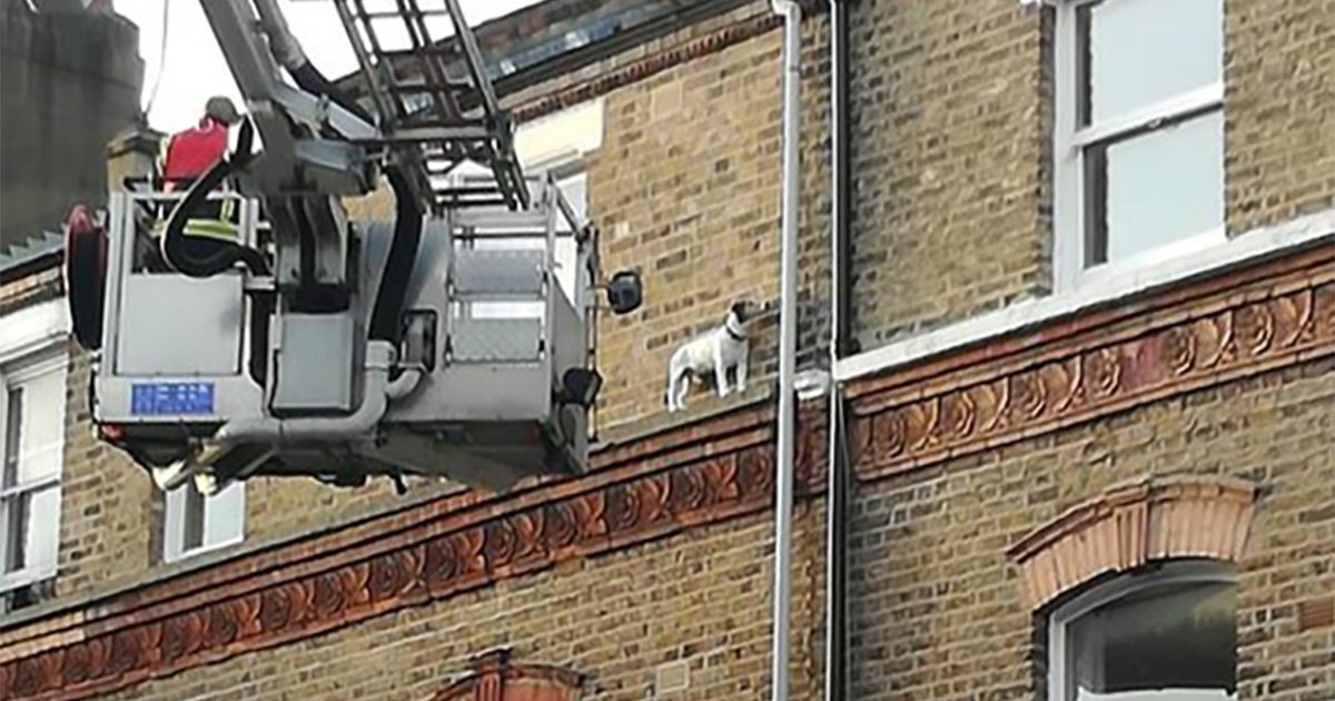 Jack Russell somehow ends up on a ledge while making break for freedom