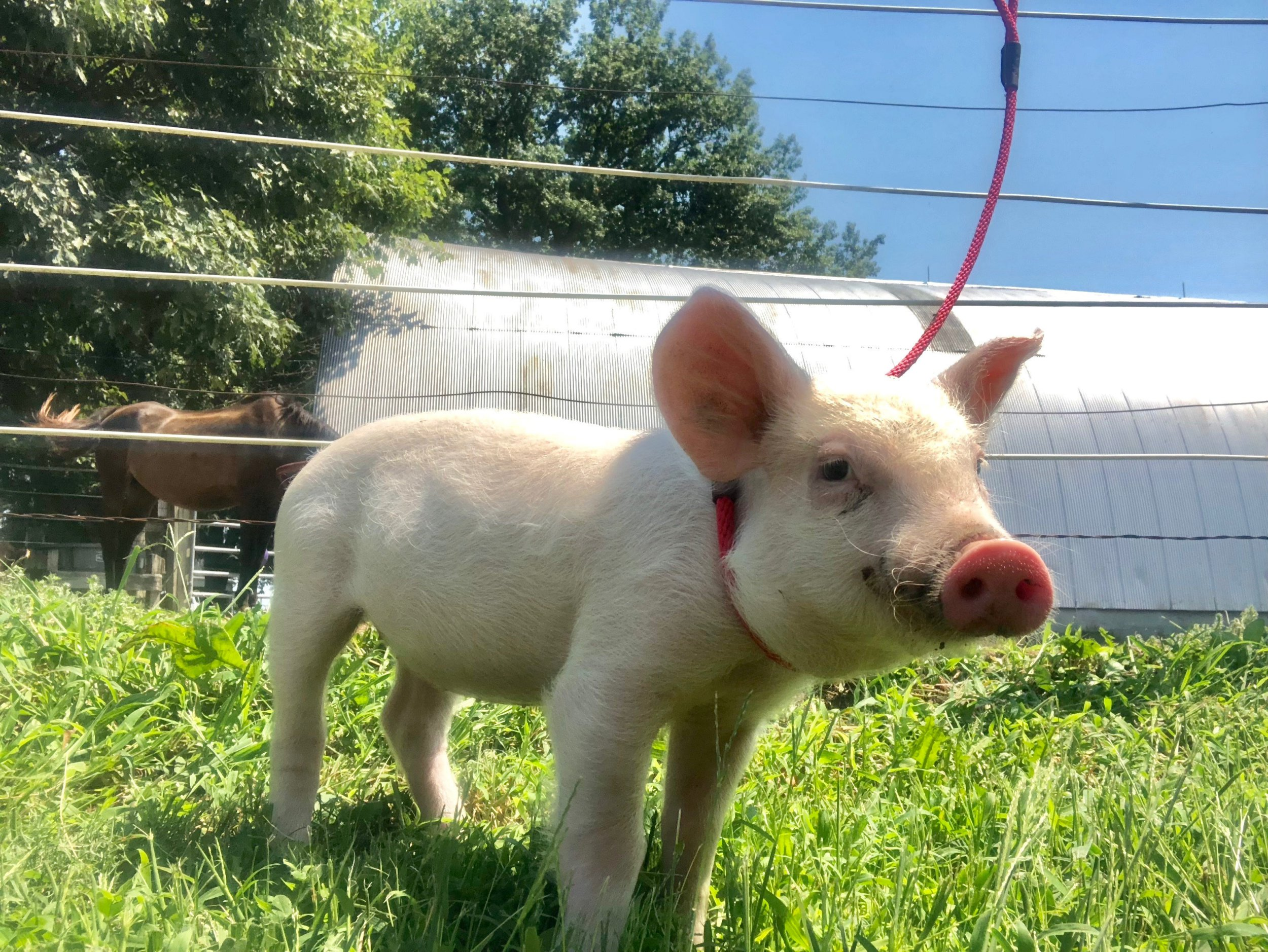 Piglet rescued when she escaped truck on the way to the slaughterhouse